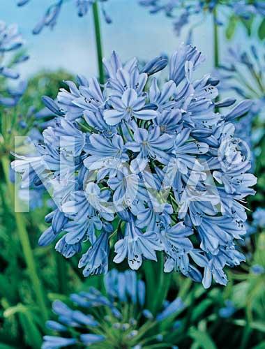 agapanthus blu