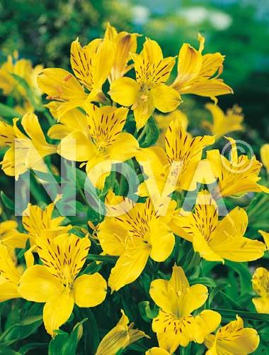 alstroemeria giallo