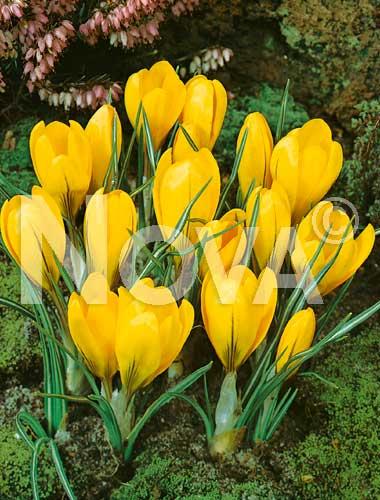 crocus giallo
