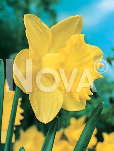 Bulbi narciso narcisse a grande coppa giallo litobm for Narciso giallo