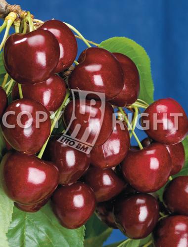 Piante da frutto ciliegio grossa di pistoia litobm for Piante da frutto pistoia
