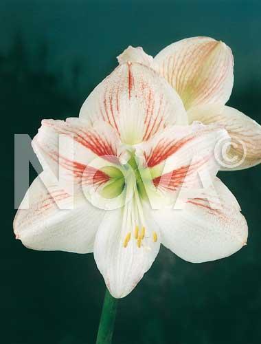 amaryllis striato