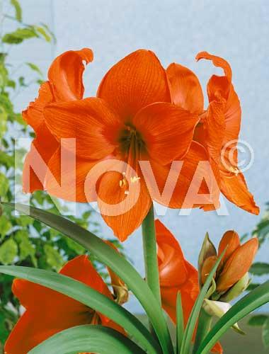 amaryllis arancio