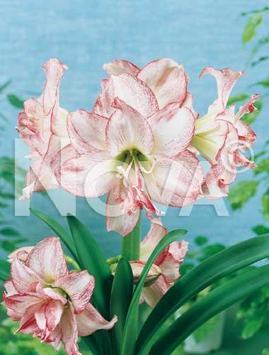 amaryllis doppio striato