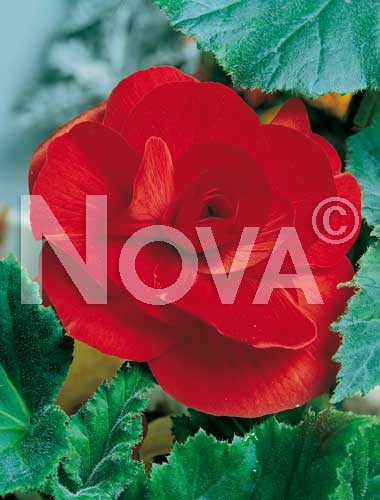 begonia semplice rossa