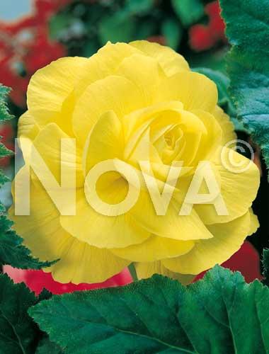 begonia doppia gialla