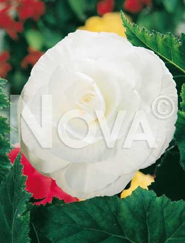 begonia semplice bianca