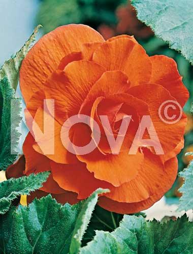 begonia doppia arancio