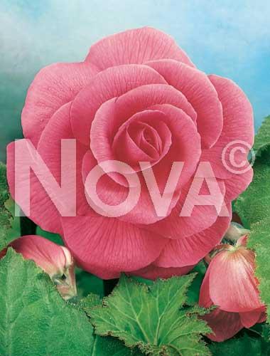 begonia semplice rosa