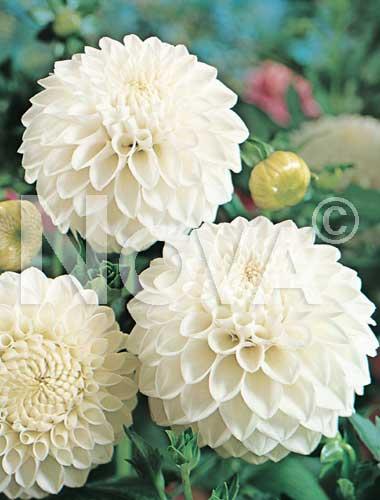 dahlia pompon bianca