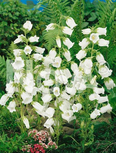 campanula semplice bianca