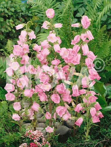 campanula semplice rosa
