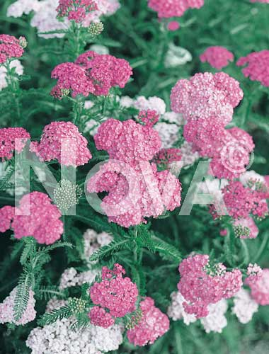 achillea rosa