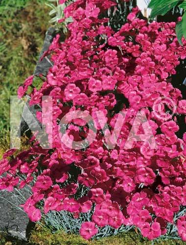 garofano nano wheatfield rosa