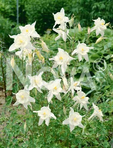 aquilegia a fiore semplice bianco