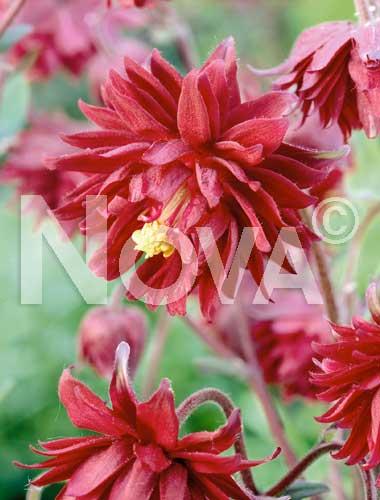 aquilegia a fiore doppio rosso