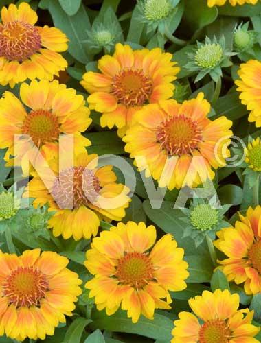 gaillardia a fiori gialli
