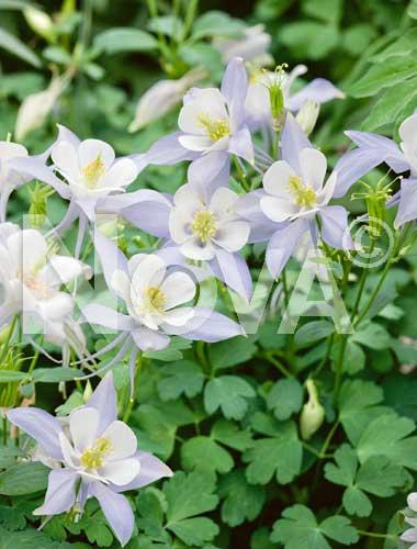 aquilegia a fiore semplice lilla