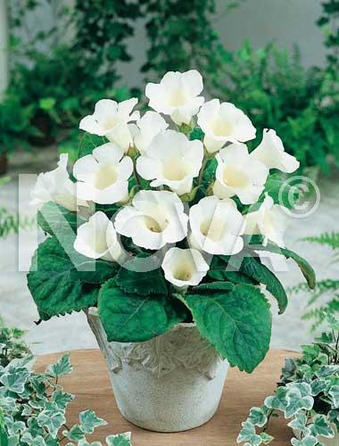 gloxinia bianca