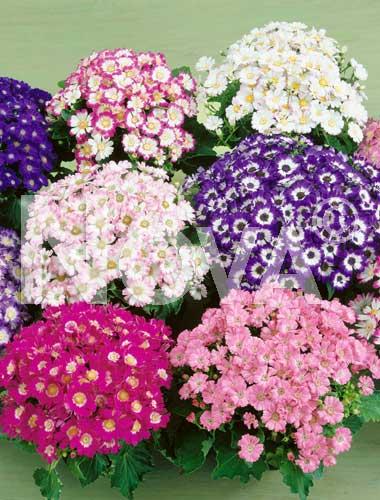 cineraria grandiflora mix