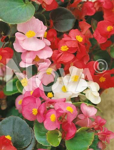 begonia semplice mix