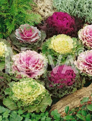 Fiori cavolo ornamentale cavolo ornamentale litobm for Cavolo ornamentale