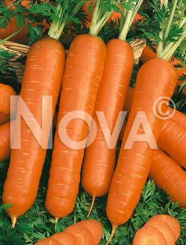 carota albenga