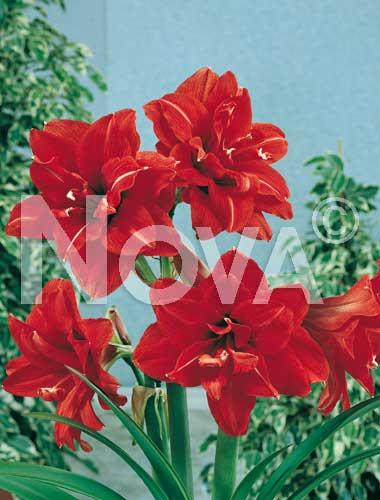 amaryllis doppio rosso