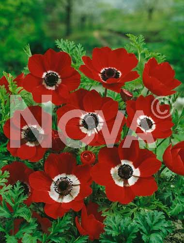 anemone semplice rossa