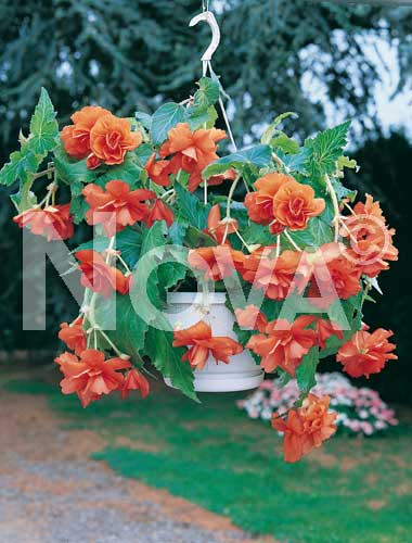 begonia pendula arancio