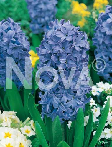 giacinto blu