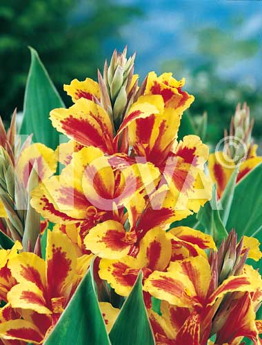 canna indica queen charlotte