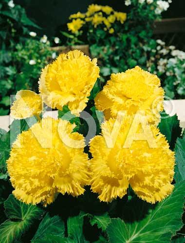 begonia fimbriata gialla