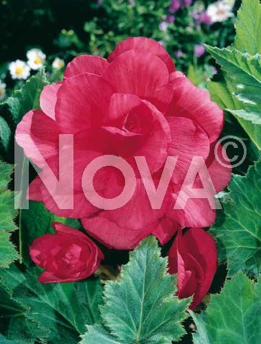 begonia doppia rosa
