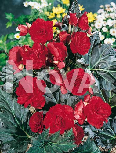 begonia multiflora rossa