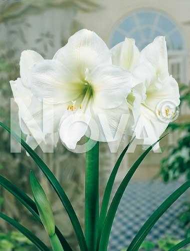 amaryllis bianco