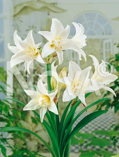 amaryllis doppio bianco