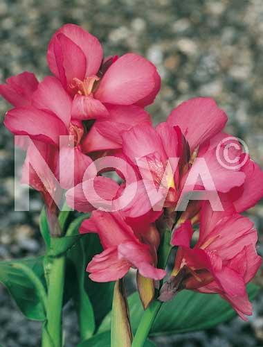 canna indica rosa