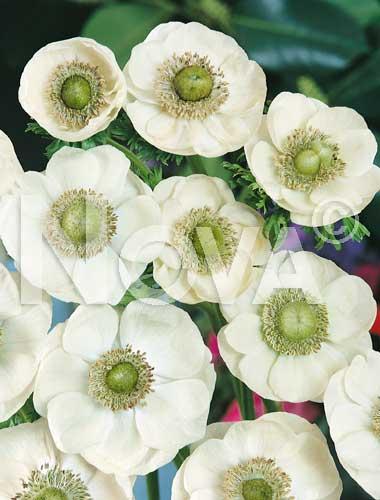 anemone semplice bianca