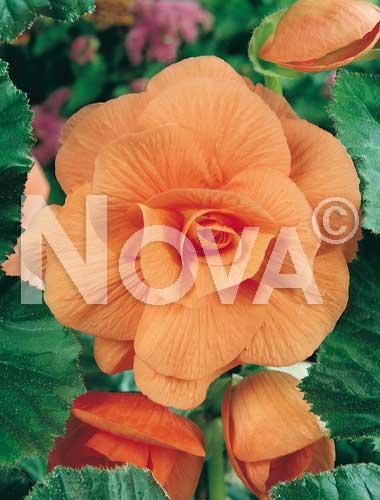begonia semplice arancio