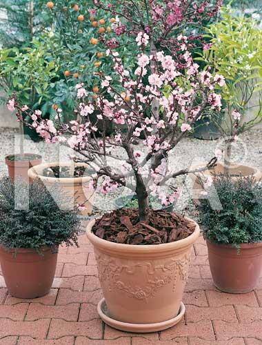 Piante da frutto piante da frutto nane dwarf apricot for Piante da frutto nane in vaso